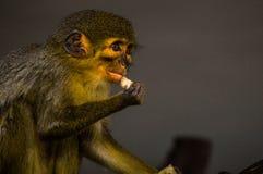 маленькая обезьяна еды Стоковое Фото