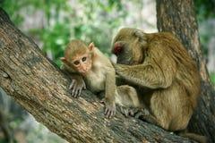 Маленькая обезьяна имеет находить тикание на коже на дереве стоковые фотографии rf