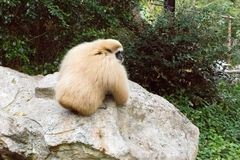 Маленькая обезьяна на камне Стоковые Изображения