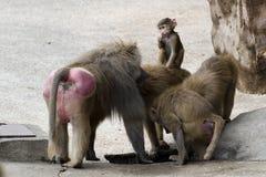 маленькая обезьяна одно Стоковые Фото