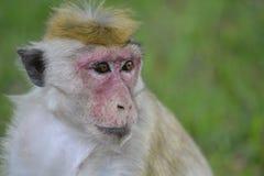 Маленькая обезьяна самостоятельно Стоковая Фотография