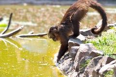 маленькая обезьяна Стоковые Изображения RF