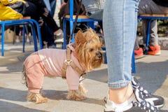 Маленькая одетая собака стоковое фото
