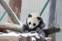 Маленькая панда Cub в снеге Стоковые Фото