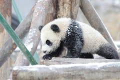 Маленькая панда Cub в снеге Стоковые Изображения