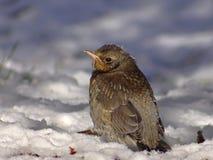 Маленькая птица на снеге Стоковая Фотография RF