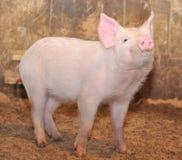 маленькая свинья стоковые фото