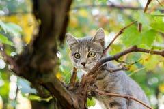 Маленькая серая игра кота на дереве виноградного вина Стоковая Фотография RF