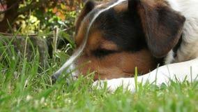 Маленькая собака бигля щенка кладет вниз на пол травы акции видеоматериалы