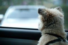 Маленькая собака ждет владельца для возвращения стоковые изображения