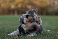 Маленькая собака лежа на зеленой траве стоковые изображения rf