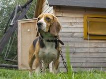 Маленькая собака на цепи Стоковая Фотография