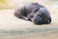 Маленькая собака на fllor Стоковые Фотографии RF