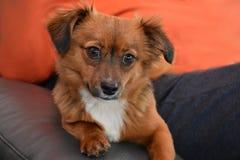Маленькая собака щенка с большими удивленными глазами стоковые изображения