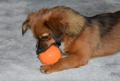 Маленькая собака щенка с шариком корма стоковая фотография