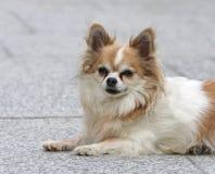 Маленькая собака стоковые фото