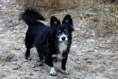 Маленькая старая черная собака стоит на улице стоковая фотография