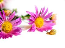 Маленькая улитка с розовыми цветками на белой предпосылке стоковые изображения