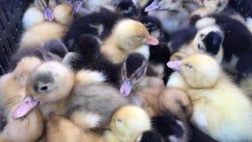 Маленькая утка на ферме, конец вверх милой маленькой желтой утки видеоматериал