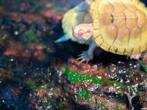 Маленькая черепаха стоковые изображения