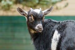 Маленькая черная голова крупного плана козы ребенк в ферме Стоковые Фотографии RF
