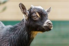Маленькая черная голова крупного плана козы ребенк в ферме Стоковые Фото