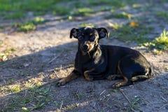 Маленькая черная собака лежа на том основании стоковое изображение