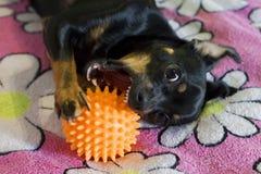Маленькая черная собака обгрызает шарик стоковая фотография