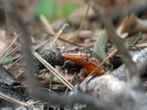маленькая ящерица Стоковое Фото