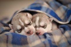 Маленькая newborn ООН сибирской лайки щенят чистоплеменное серого и белого стоковое фото