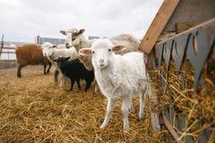 Маленькие белые пушистые овцы овечки среди взрослых Приложение для колоть-копытных животных Рыбозавод баранины в сельском Стоковые Фотографии RF