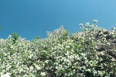 Маленькие белые цветки на утесе Стоковая Фотография RF
