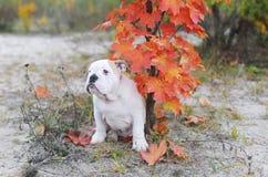 Маленькие бульдог и клен в осени Стоковое Фото