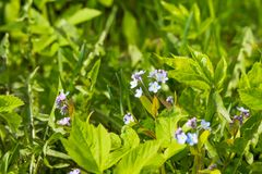 Маленькие голубые цветки незабудки на луге весны Предпосылка завода луга: голубые маленькие цветки - поднимающее вверх незабудки  Стоковое Изображение RF
