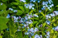 Маленькие голубые цветки незабудки на луге весны Предпосылка завода луга: голубые маленькие цветки - поднимающее вверх незабудки  Стоковые Фото
