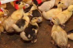 Маленькие желтые утята на ферме Стоковые Изображения RF