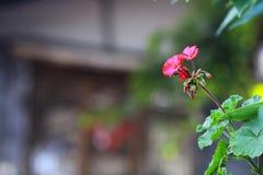 Маленькие красные цветки вися на стене стоковая фотография