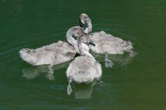 маленькие лебеди Стоковая Фотография