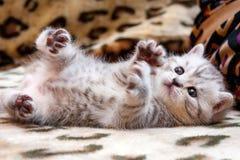 Маленькие милые запятнанные лож цвета великобританского котенка серые белые вверх ногами стоковые фото