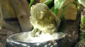 Маленькие милые питания обезьяны акции видеоматериалы