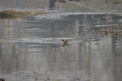 Маленькие поганковые, игра зимы в озере стоковое фото rf