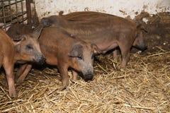 Маленькие поросята внутрь на сцене животного амбара сельской Стоковая Фотография