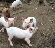 Маленькие поросята на молочной ферме стоковое изображение rf
