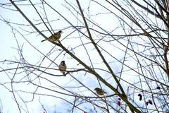 Маленькие птицы на ветвях собаки подняли Стоковое Фото