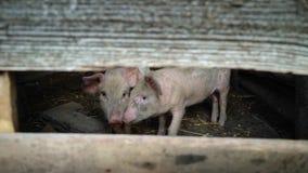 Маленькие розовые поросята на ферме 2 свиньи смотрят в камеру через шлиц в деревянной загородке, охране животных сток-видео