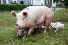 Маленькие свиньи кормя крупный план грудью на сцене скотного двора сельской Стоковое фото RF