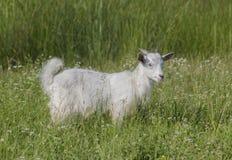 Маленькие сладостные, белые улыбки козы стоковые изображения