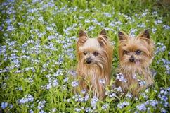 Маленькие собаки в поле цветка стоковые фотографии rf