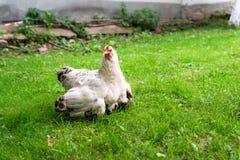 Маленькие цыпленоки прячут под крылами цыпленка матери стоковое изображение