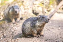 Маленькие groundhogs Стоковые Изображения